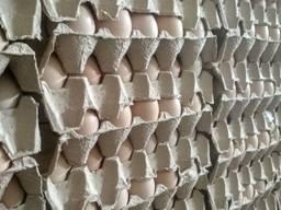 Jaja lęgowe brojlerów crossa ROSS-308