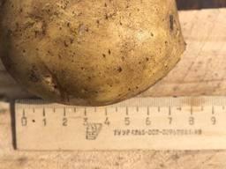 Картофель ziemniaki
