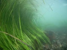 Морская трава Zostera marina