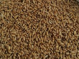 Selling 3000 tons of durum wheat. Продам 3 тысячи тонн пшеницы, твёрдые сорта