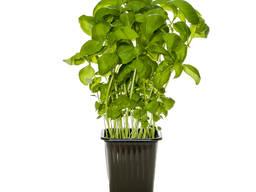 Зелень в горшочках на гидропонике
